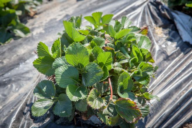 Zwalczanie chwastów w truskawce