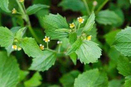 Zwalczanie żółtlicy drobnokwiatowej? Jak zwalczyć żółtlicę drobnokwiatową?