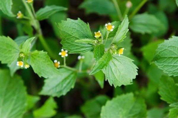 zwalczanie żółtlicy drobnokwiatowej? Jak zwalczyć żółtlice drobnokwiatową?