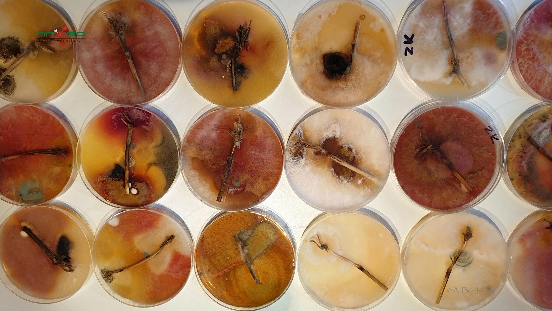 Choroby fuzaryjne zbóż
