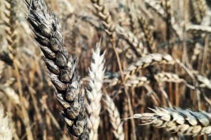 Zwalczanie czerni zbóż. Jak zwalczać czerń zbóż?