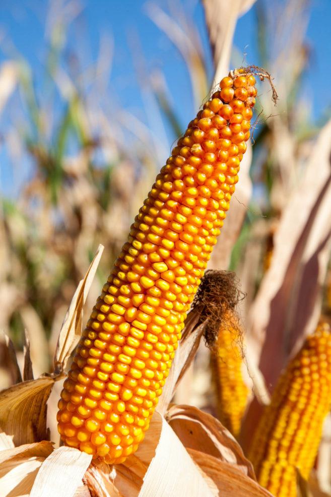 Ochrona upraw kukurydzy
