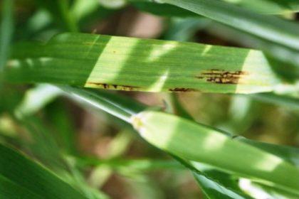 Zwalczanie plamistości siatkowej liści. Jak zwalczyć plamistość siatkową liści?