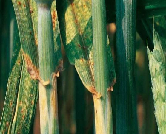 Zwalczanie rdzy jeczmienia Jak zwalczać rdze jęczmienia?