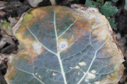 Zwalczanie suchej zgnilizny kapustnych. Jak zwalczyć suchą zgniliznę kapustnych?