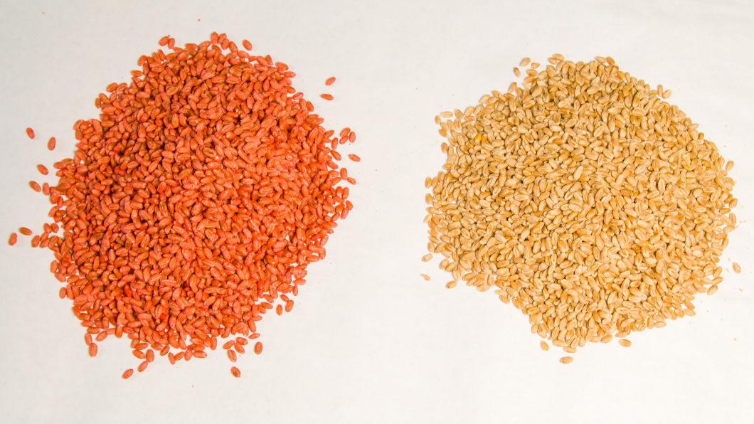 Zaprawy nasienne