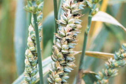 Zwalczanie śnieci cuchnącej pszenicy. Jak zwalczyć śnieć cuchnącą pszenicy?