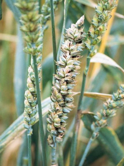 jak zwalczyć śnieć cuchnącą pszenicy? Zwalczanie śnieci cuchnącej pszenicy