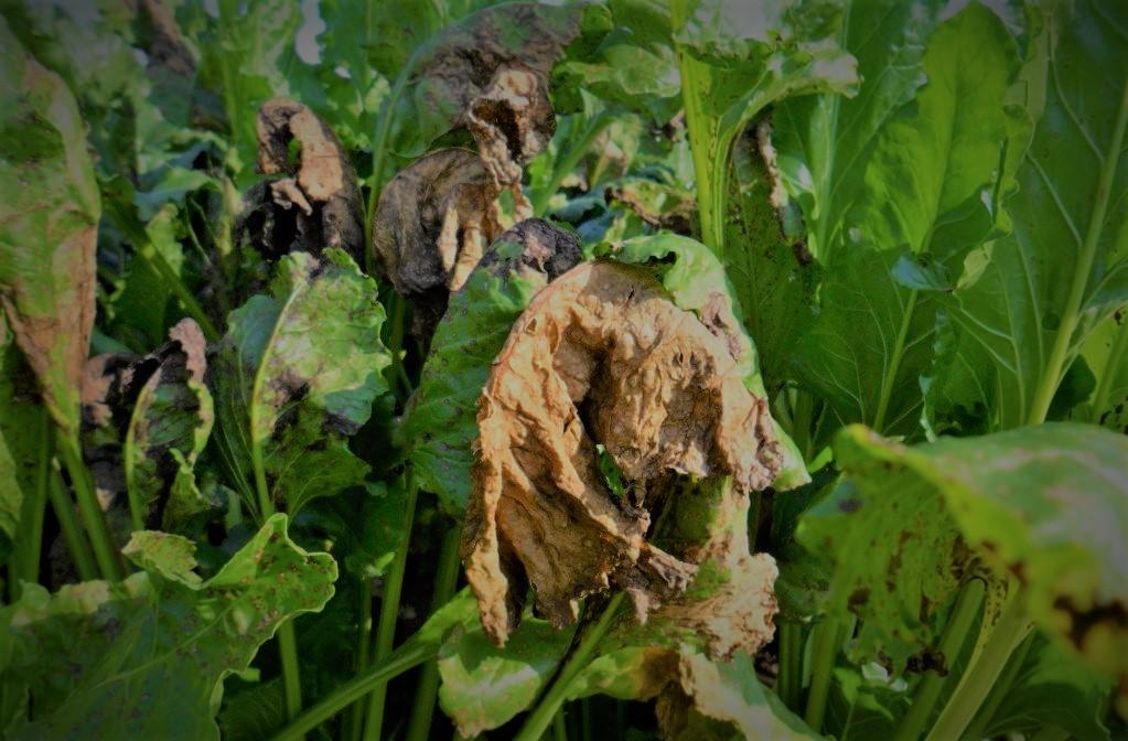 Zwalczanie brunatnej plamistości liści buraka. Jak skutecznie zwalczać brunatną plamistość liści buraka?