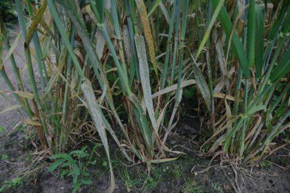Zwalczanie mączniaka prawdziwego zbóż i traw. Jak zwalczać mączniaka prawdziwego zbóż i traw?