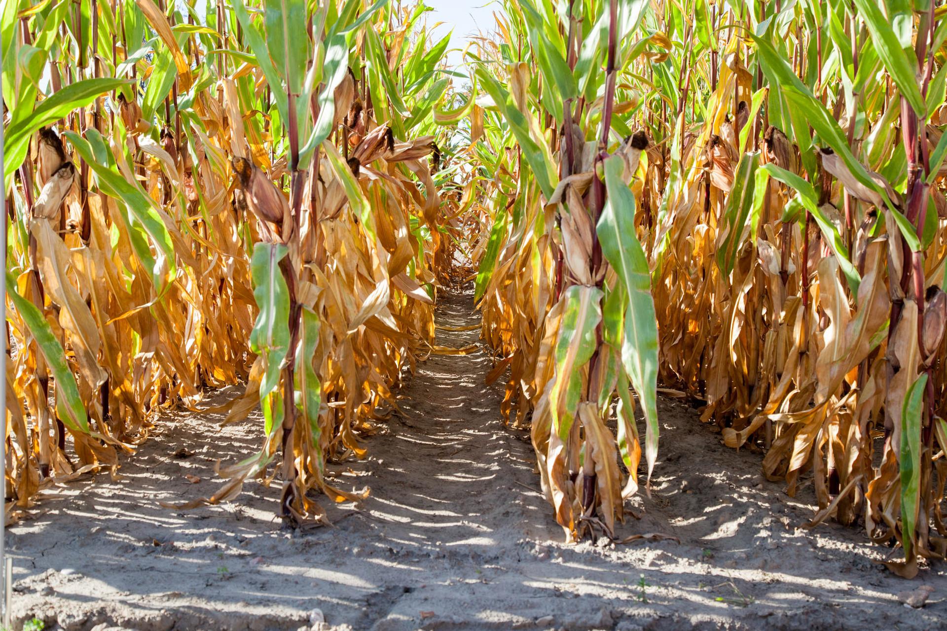 Susza w kukurydzy