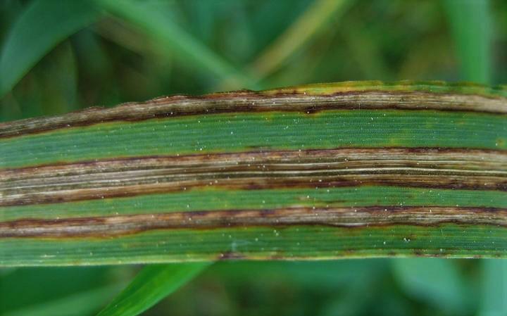 Zwalczanie pasiastości liści jęczmienia. Jak skutecznie zwalczać pasiastość liści jęczmienia?