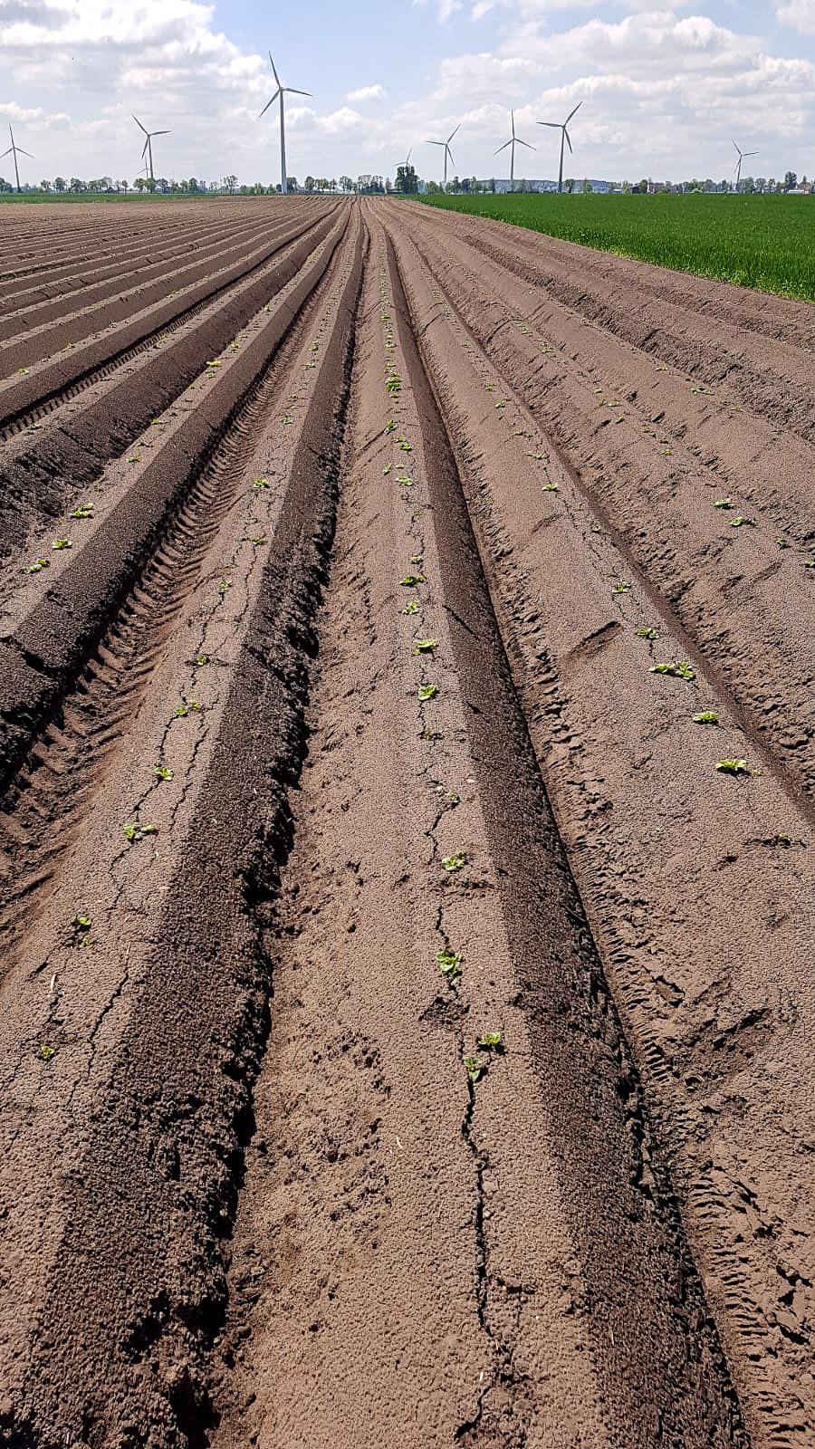 Ochrona uprawa ziemniaka - herbicydy - insektycydy