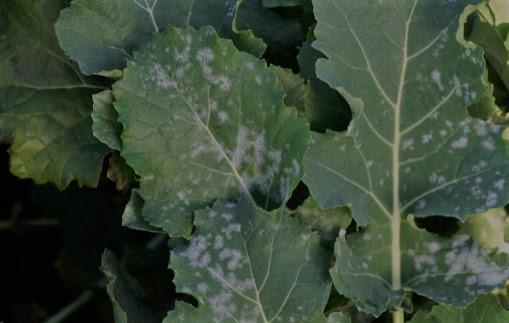 Zwalczanie mączniaka prawdziwego roślin kapustnych. Jak zwalczać mączniaka prawdziwego roślin kapustnych?