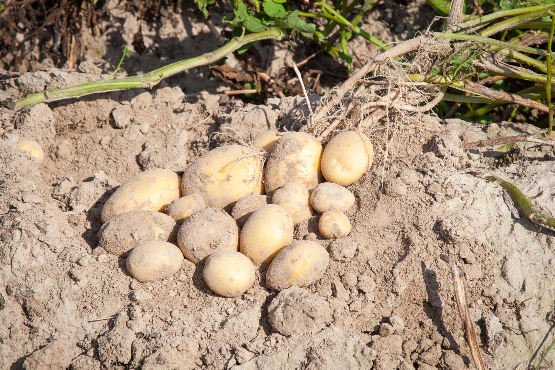 Ochrona upraw ziemniaka