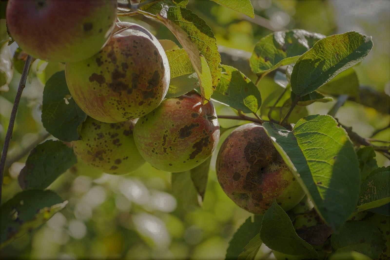 Zwalczanie parcha jabłoni. Jak skutecznie zwalczać parcha jabłoni?