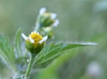 Zwalczanie żółtlicy owłosionej. Jak zwalczyć żółtlicę owłosioną?