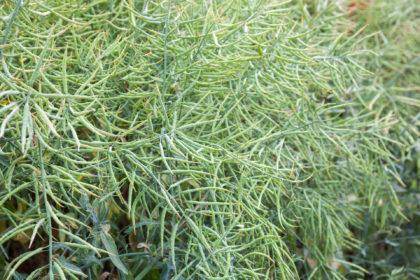 Herbicydy do rzepaku