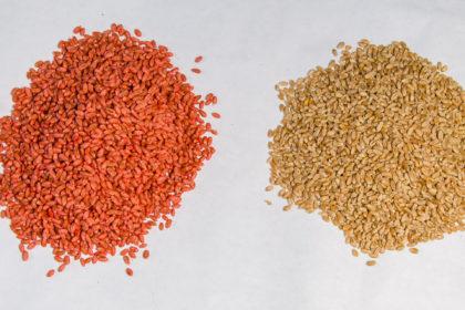 Zaprawianie zbóż